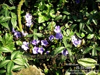 Vinca minor - barwinek